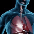 Lungs & Respiration