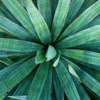 YUCCA EXTRACT: